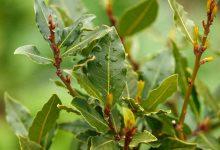Photo of Bien-être : découvrez les vertus des feuilles de laurier !