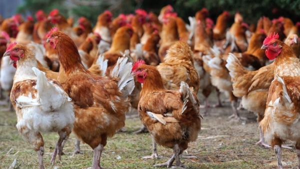 Le Togo interdit l'importation de volailles