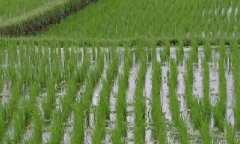 Le secteur rizicole Togolai