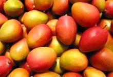 Les filières ananas et mangue en plein essor au Togo