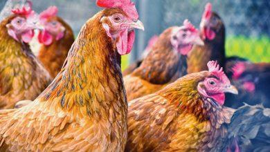 Plan de riposte contre la grippe aviaire