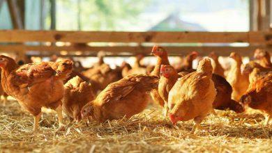 Photo of Togo : plus de 150 000 emplois dans la filière avicole d'ici 2025