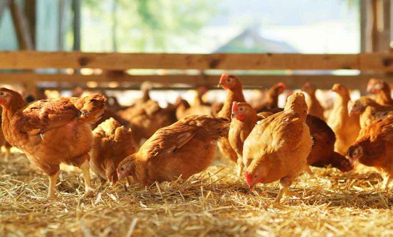 filière avicole au Togo