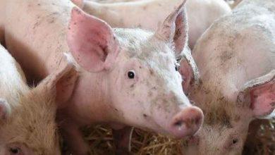 Photo of Togo : une infection de peste porcine africaine frappe la Préfecture de l'Avé