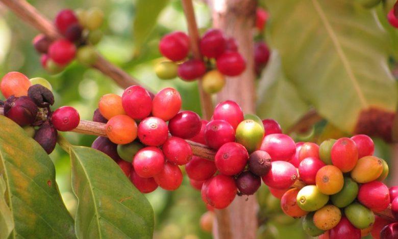 3 millions de caféiers âgés vont être remplacés au Rwanda