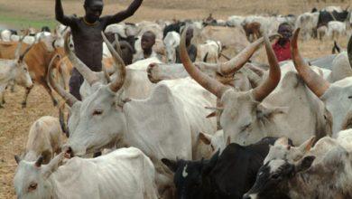 Tchad : remboursement de 100 millions de dollars de dette à l'Angola avec du bétail